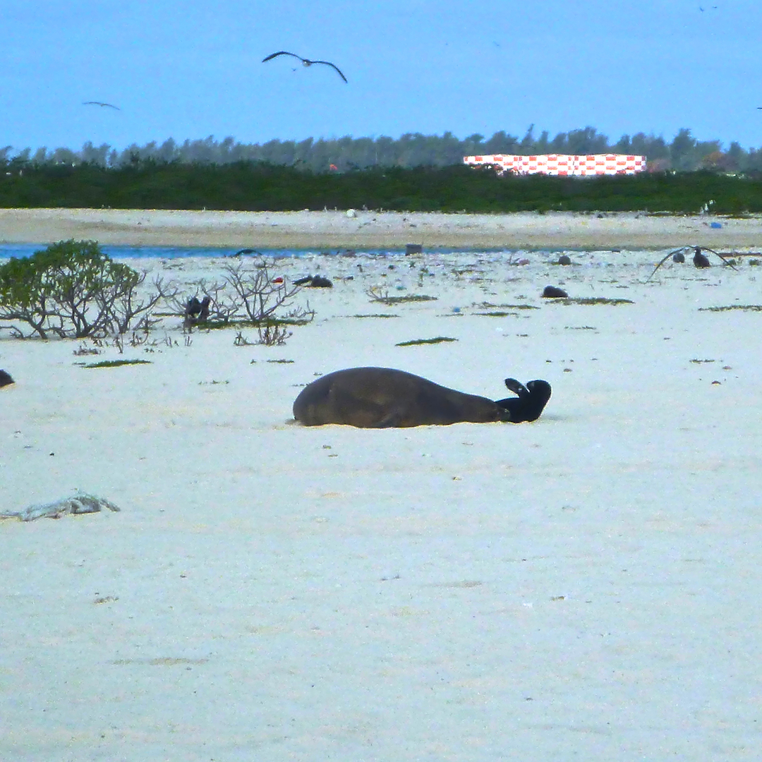 Monk, seal, mom, pup, pair, fuel, container, Midway, Atoll, Island, Hawaii, archipelago, WWII, WW2, world war, II, 2, two, relic, war, artifact