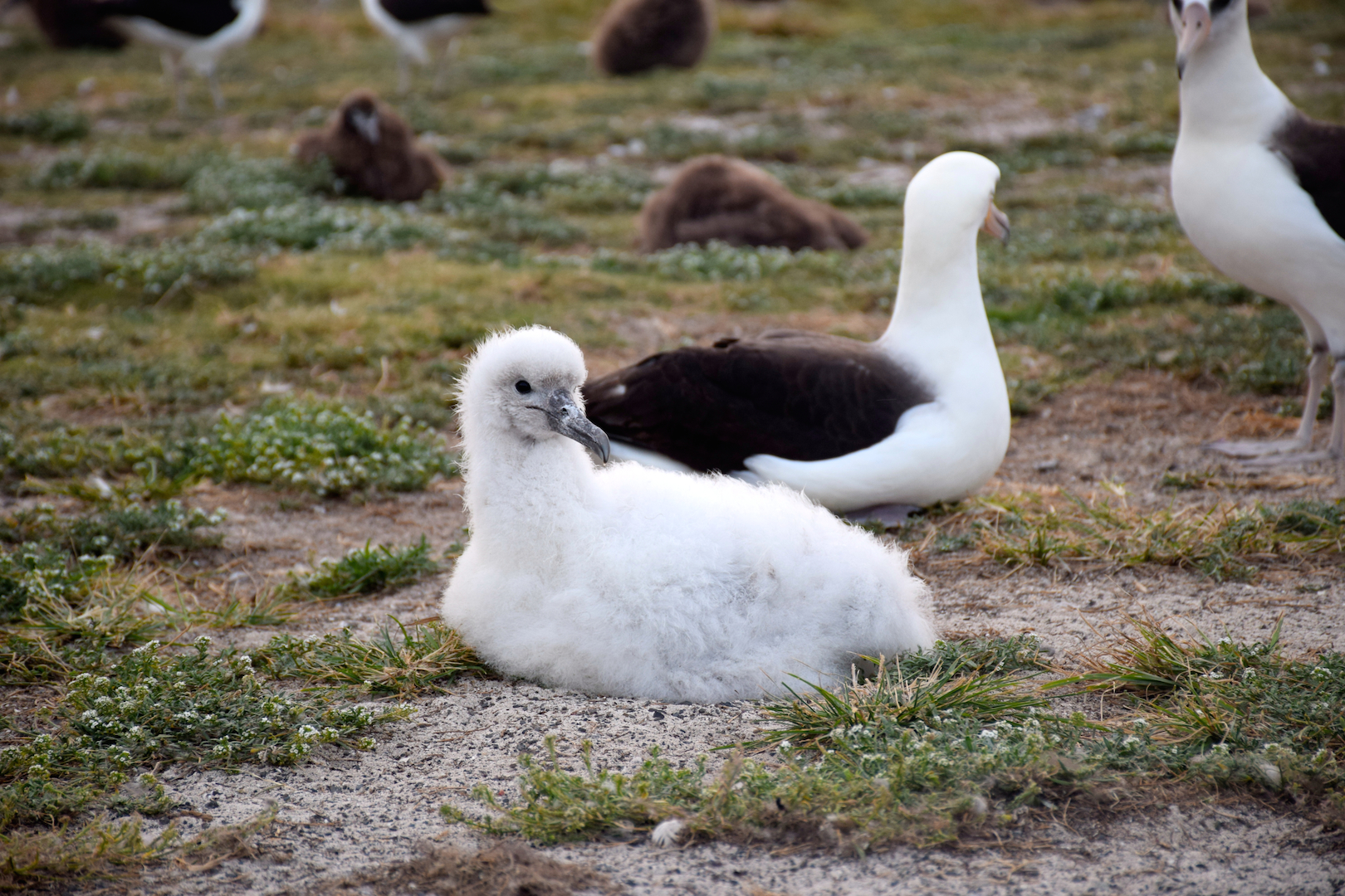albino, albatross, white, rare, exotic, chick