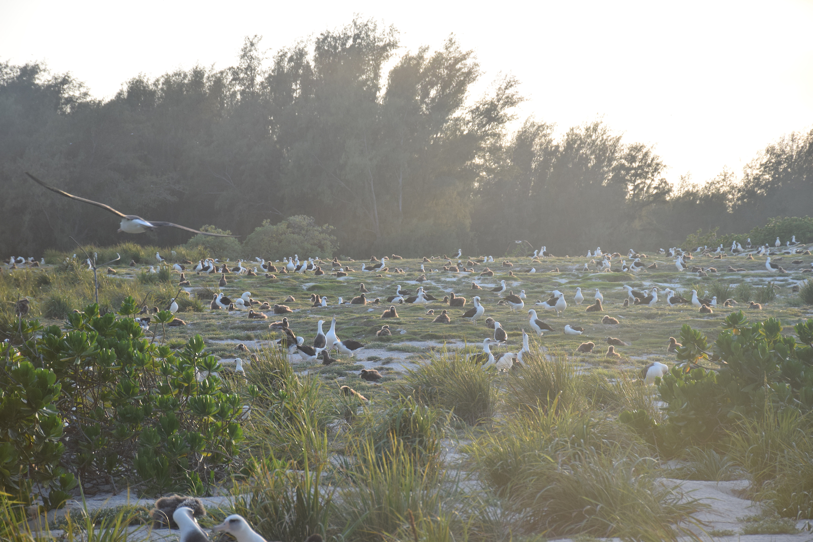 Midway, Atoll, Island, Albatross, Chick, Golden, Magic, Hour, Sunset, backlit