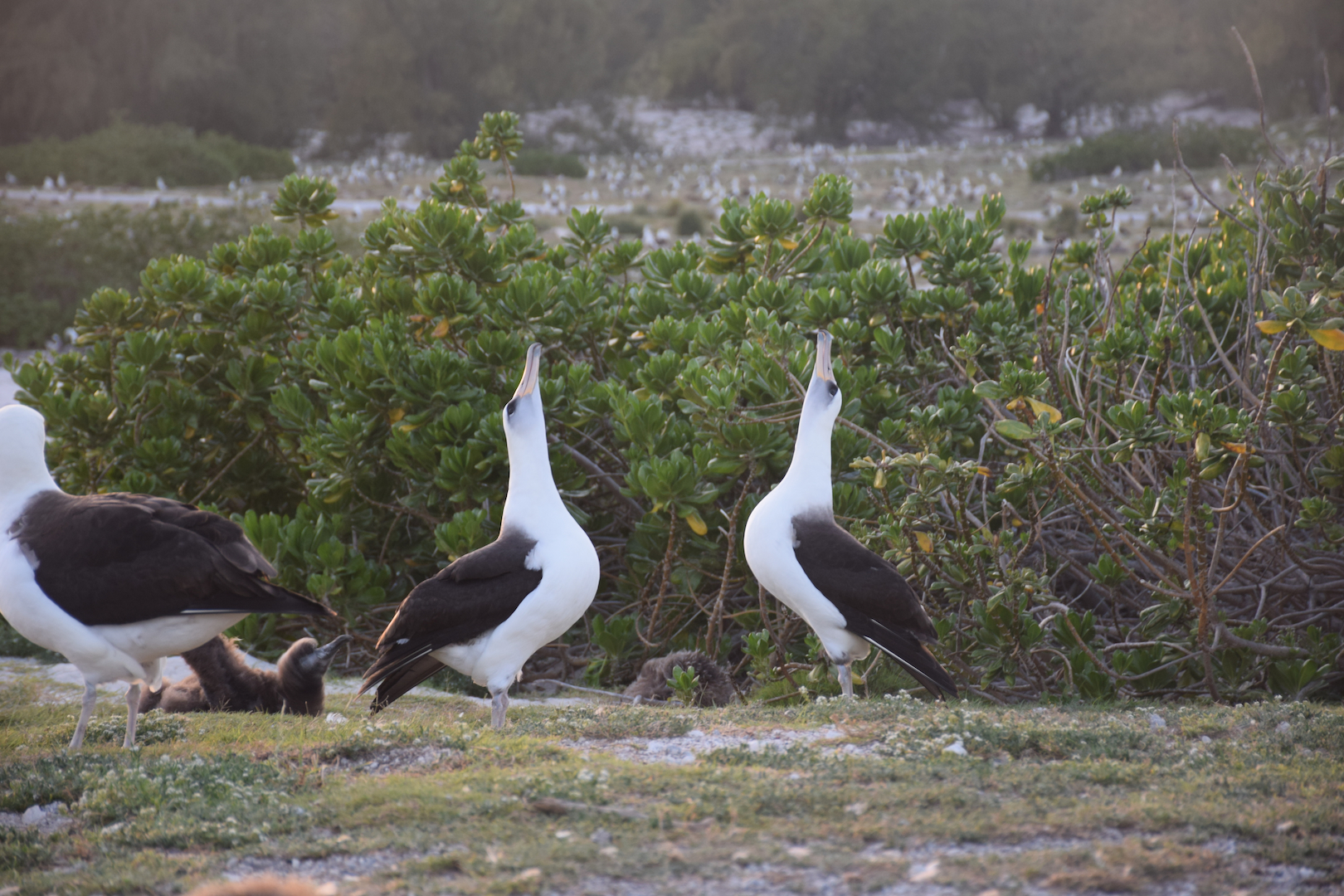 Midway, Atoll, Albatross, dance, mating, courtship, kissing, birds