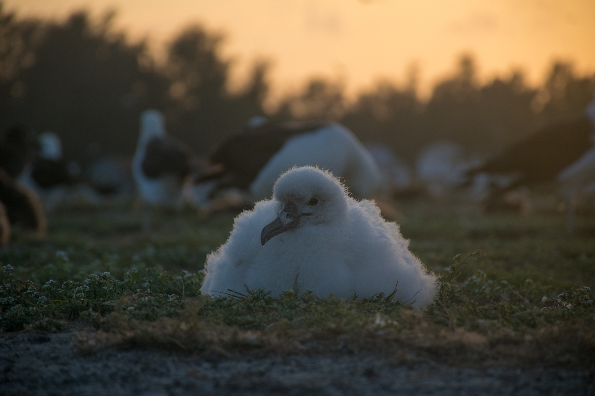 Midway, Atoll, Island, Albatross, Chick, Albino, Sunset, Magic, Golden, Hour, Photography, Northwestern, Hawaiian, one in a million, rare, exotic, bird, animal, one of a kind