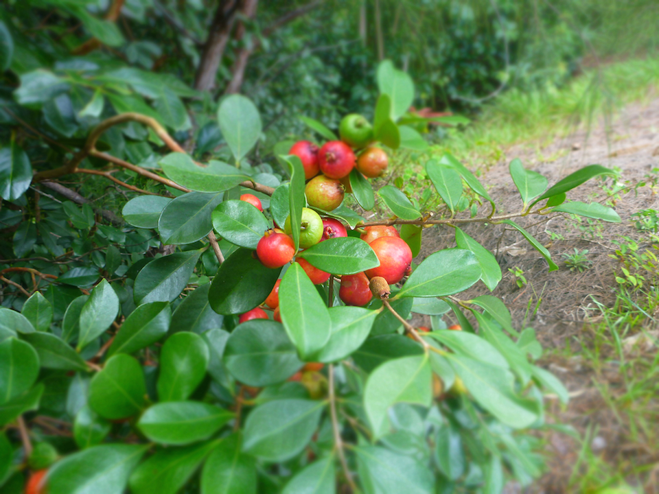 Hiking, Oahu, hawaii, cherry guava, guava, treat, edible, fruit, snack