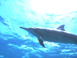 Dolphin Oahu Hawaii Diving
