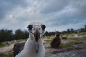 Laysan Albatross Midway Northwester Hawaiian Islands Hawaii big Bird