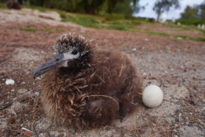 Laysan Albatross Midway Northwester Hawaiian Islands Hawaii big Bird Chick Egg Orphaned Atoll