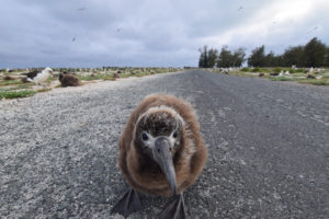 Laysan Albatross Midway Northwester Hawaiian Islands Hawaii big Bird chick