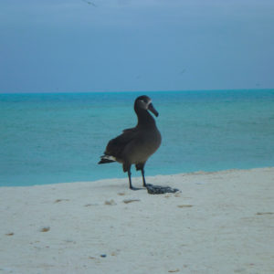 Midway, Atoll, Island, Northwestern, Hawaiian, Islands, sand, beach, NOAA, black, footed, albatross, clean up, marine, debris
