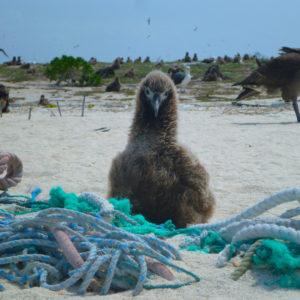 Midway, Atoll, Island, Northwestern, Hawaiian, Islands, sand, beach, marine, debris, clean up, NOAA, albatross, chick, garbage, trash, junk, derelict, fishing, gear, line, net
