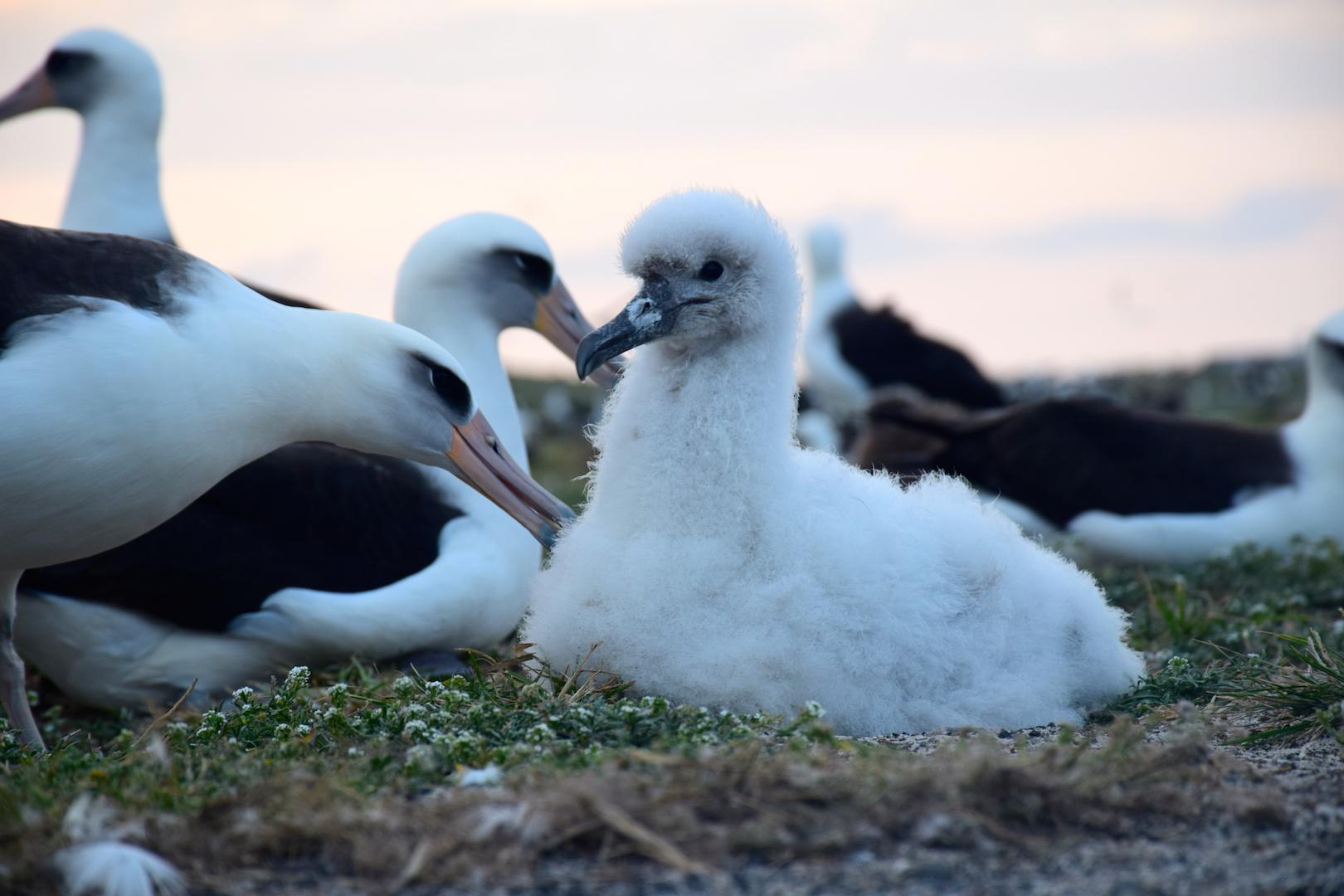 albino, albatross, white, rare, exotic, chick