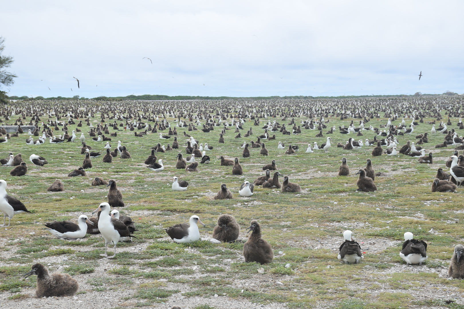 Midway, Atoll, Albatross, Chicks, Nests, Ground, lots, plenty, many, abundant, birds, numerous, as far as the eye can see