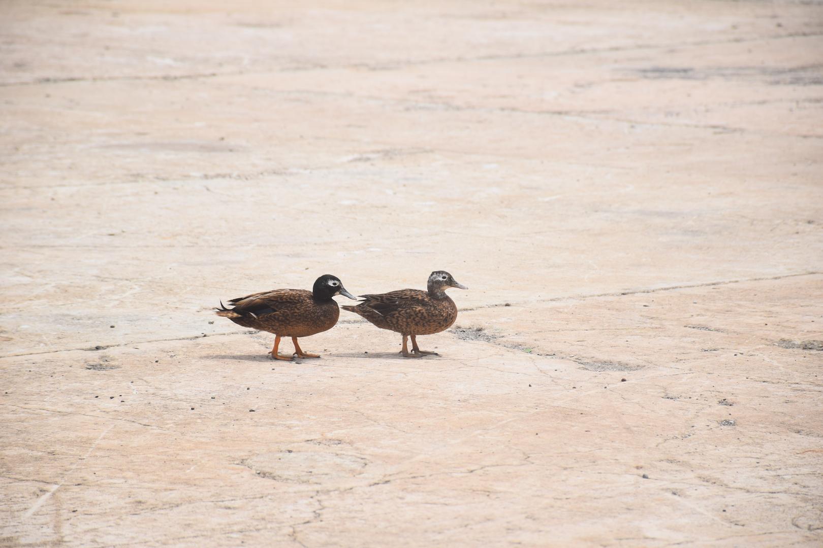 Laysan duck, endangered, pair, rare, bird, most endangered duck, Midway, Atoll, Island, Laysan