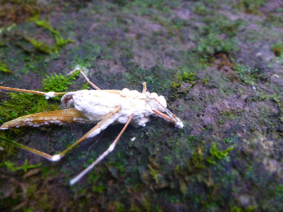 grasshopper, bug, insect, dead, decomposing, fungus, circle of life, biodegrading