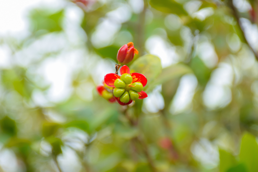 Oahu, Hawaii, Ochna, serrulata, Mickey, Mouse, Plant, red, flower